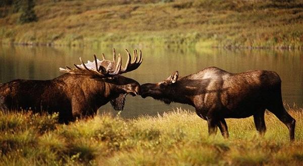 Охота на лося с манком